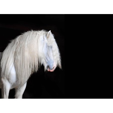 White Shire Horse With Black Background Print Wall Art By I Love Nature