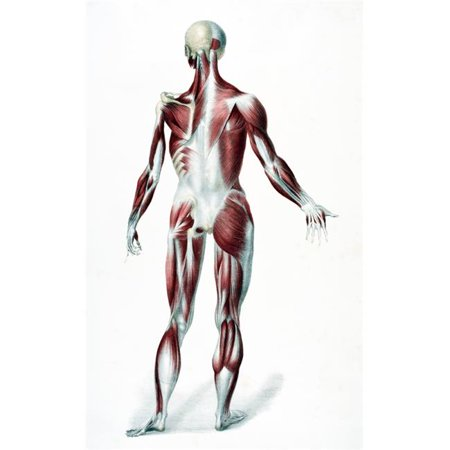 Posterazzi DPI1862429LARGE Back of the Male Human Body Showing Muscles Sinews & Bones From the Vessels of the Human Body Edited by Jones Quain An Poster Print, 22 x