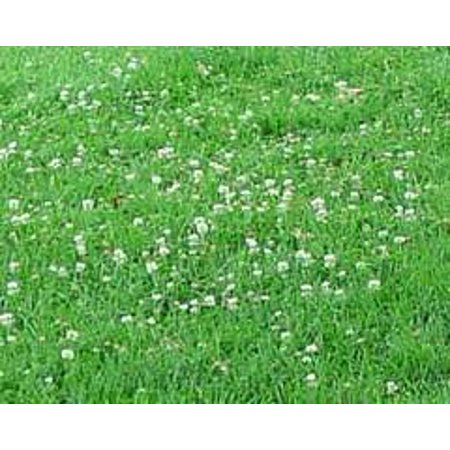 The Dirty Gardener Sun and Shade Lawn Seed with Clover, 5