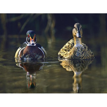 Male Wood Duck and Female Mallard, Usa Print Wall Art By Tim Fitzharris