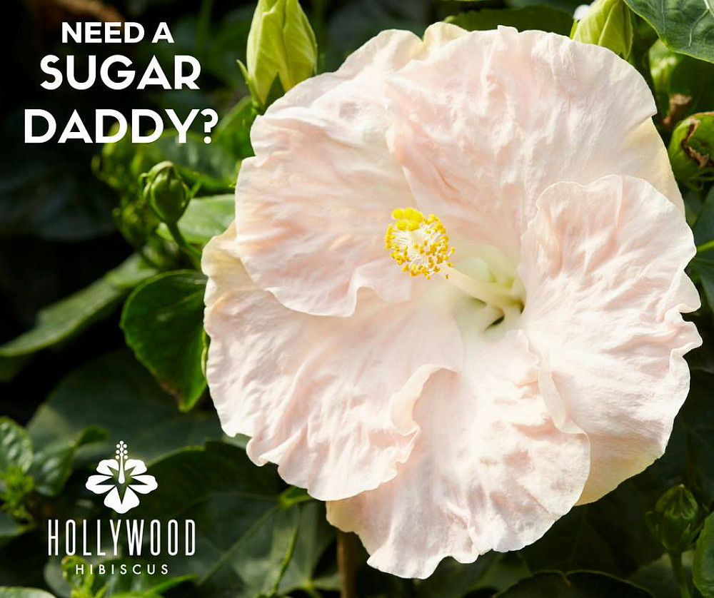 Sugar daddy hollywood hibiscus plant 4 pot indoors or out sugar daddy hollywood hibiscus plant 4 pot indoors or out walmart izmirmasajfo