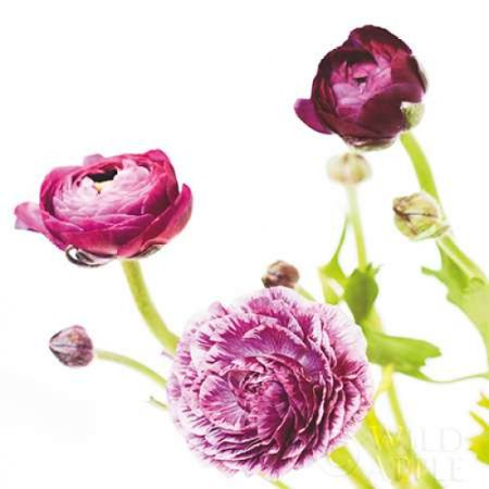 Marshall Spring (Spring Ranunculus II Poster Print by  Laura)
