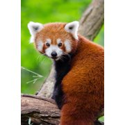 Adorable Red Panda Journal: 150 Page Lined Notebook/Diary (Paperback)