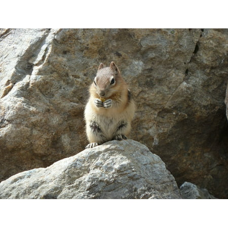 LAMINATED POSTER Canada Animal Nager Rodent Smooth Hair Nature Poster Print 24 x (Smooth On Canada)
