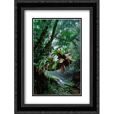 Bromeliads growing in trees along stream in Bocaina National Park, Atlantic Forest, Brazil 2x Matted 18x24 Black Ornate Framed Art Print by De Roy, Tui