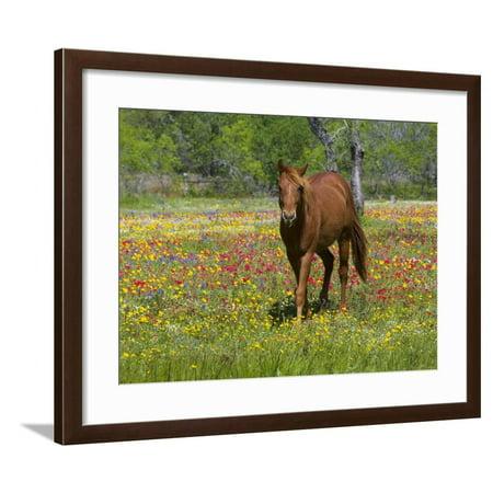 Quarter Horse in Wildflower Field Near Cuero, Texas, USA Framed Print Wall Art By Darrell Gulin
