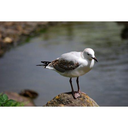 - LAMINATED POSTER Rocks Seagull Wild Rock Bird Shore Wildlife Gull Poster Print 24 x 36