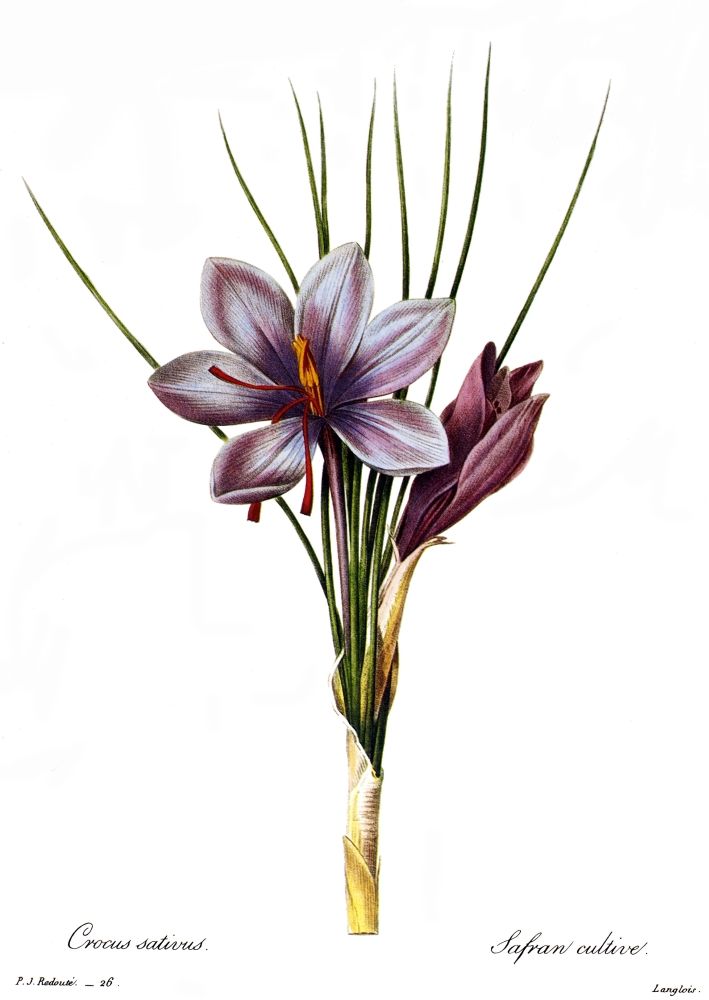 Botany Saffron N(Crocus Sativus) Engraving After A Painting By Pierre Joseph Redout For... by Granger Collection