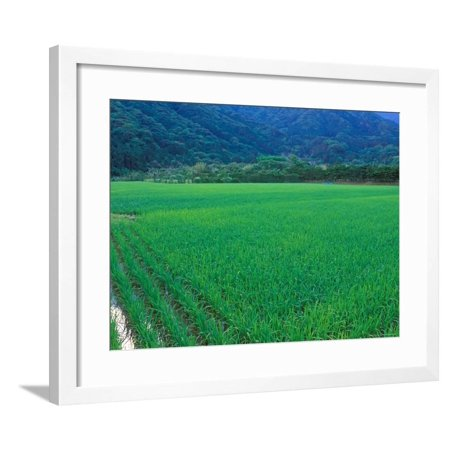 Rice Paddy, Kagoshima, Japan Framed Print Wall Art By Rob