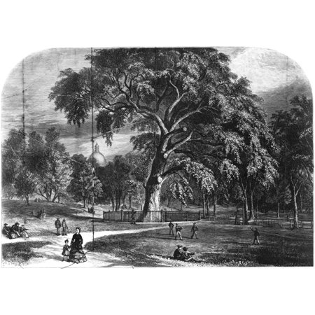 Boston Common Great Elm Nthe Great Elm Tree At Boston Common Which Was Destroyed In A Storm In 1876 Line Engraving Mid 19Th Century Rolled Canvas Art     24 X 36