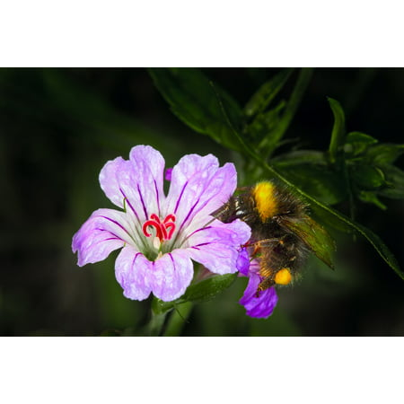 Peel-n-Stick Poster of Bug Pollen Honey Purple Flower Bee Insects Macro Poster 24x16 Adhesive Sticker Poster Print