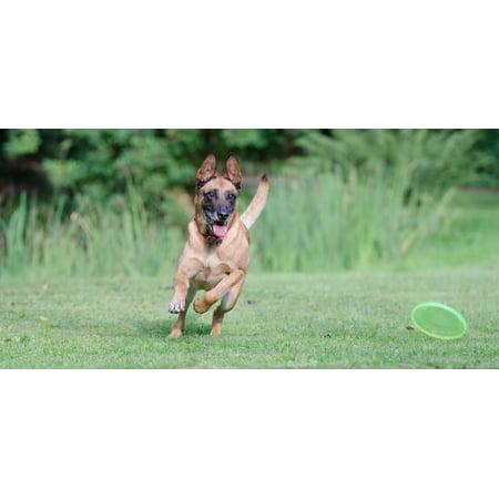 Framed Art for Your Wall Malinois Frisbee Belgian Shepherd Dog Running Dog 10x13 Frame (Shepherd's Crook For Sale)