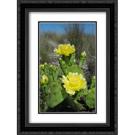 Opuntia cactus flowering, Little St. Simons Island, Georgia 2x Matted 18x24 Black Ornate Framed Art Print by Oxford, Pete