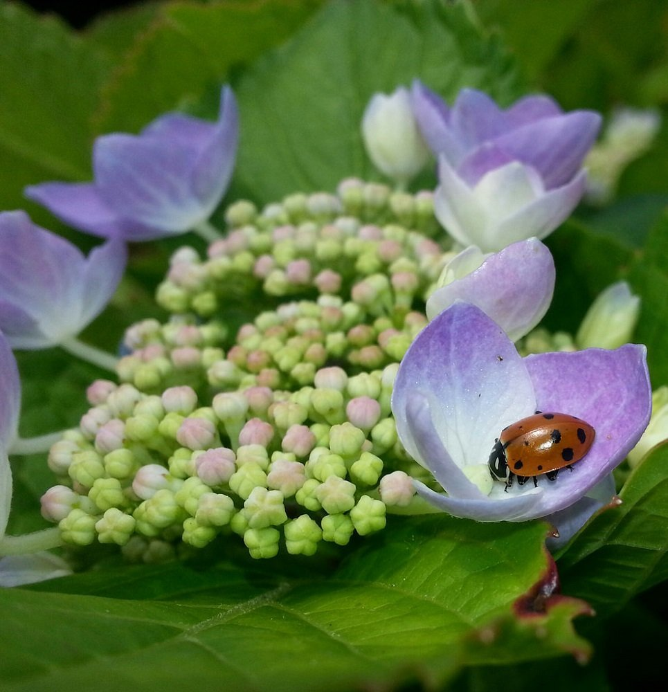 Nectar 1500 Live Ladybugs Pack of Flower Seeds to Attract Beneficial Insects