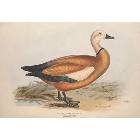 Birds Of Europe 1837 Ruddy Sheldrake Poster Print By  Edward Lear