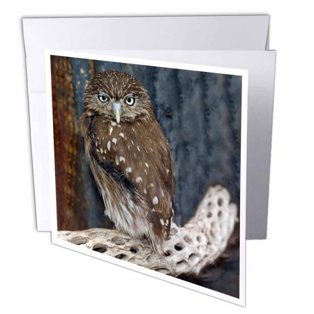 3Drose Ferruginious Pygmy Owl   Us03 Bfr0131   Bernard Friel  Greeting Cards  6 X 6 Inches  Set Of 6