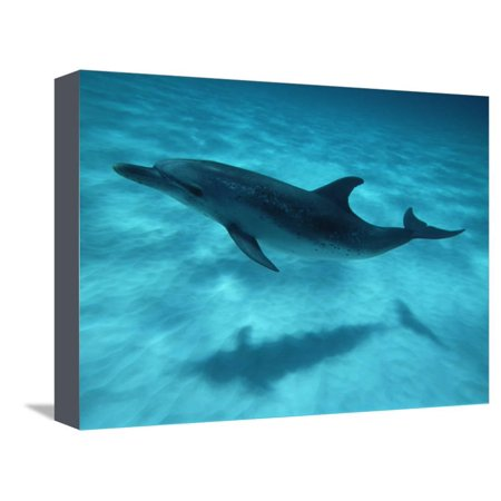 Spotted Dolphin - Atlantic Spotted Dolphin and Shadow on Seabed, Bahamas Stretched Canvas Print Wall Art By Todd Pusser