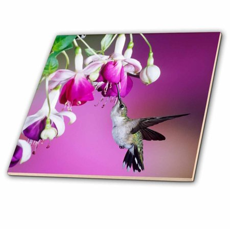 3dRose Ruby-throated Hummingbird female at Hybrid Fuchsia. - Ceramic Tile, 4-inch