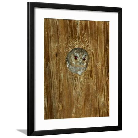 Elf Owl in Nest Hole, Madera Canyon, Arizona, USA Framed Print Wall Art By Rolf