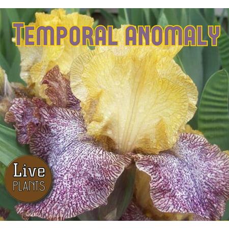 - 2007 Tasco - Temporal Anomaly - Tall Bearded Iris Rhizome (1 Rhizome)