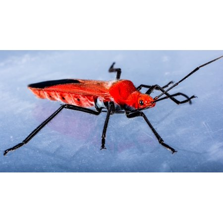 Canvas Print Insect Macro Beetle Red Beetle Stretched Canvas 10 x 14
