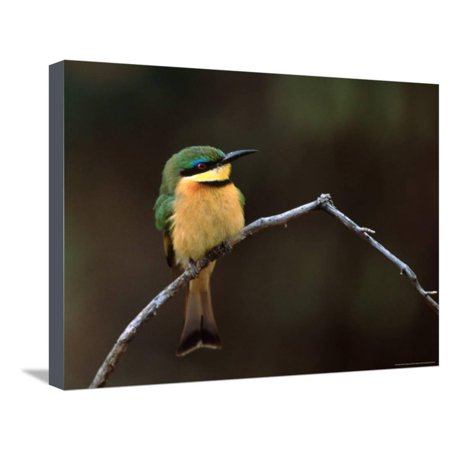 Little Bee Eater, Kenya Stretched Canvas Print Wall Art By Charles Sleicher (Little Bees Canvas)