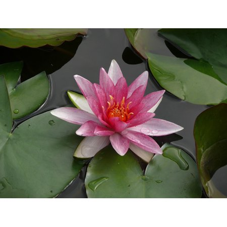 Framed Art For Your Wall Rose Pond Flower Water Lily Flowers 10x13 Frame - Walmart.com