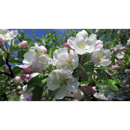 Laminated Poster Tree Pink And White Nature Flowers Cherry Blossom