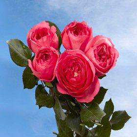 Globalrose 72 Dark Pink Special Roses   Fresh Flowers For Delivery   Perfect For Birthdays  Anniversary Or Any Occasion