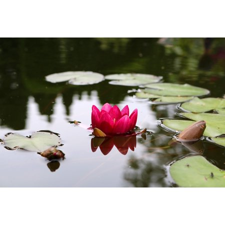 Ladies Blossom (LAMINATED POSTER Water Nuphar Lutea Water Lily Blossom Flower Bloom Poster Print 24 x 36 )