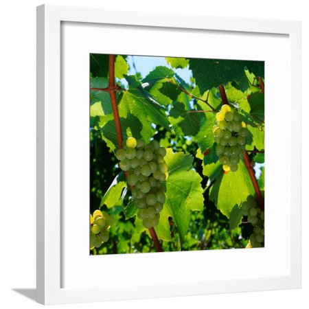 Chardonnay Grapes from the Napa Valley in California, Napa Valley, California, USA Framed Print Wall Art By Wes Walker