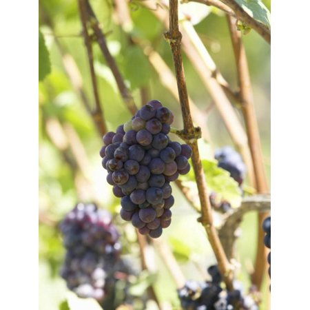 Pinot Noir Grapes on the Vine, New Zealand Print Wall Art By Myles New
