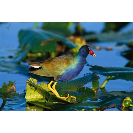 Purple Gallinule standing on lily pads Everglades National Park Florida Poster Print by Tom