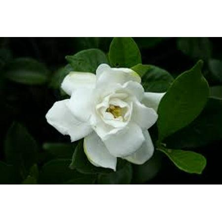 Evergreen white fragrant flowering shrub walmart evergreen white fragrant flowering shrub mightylinksfo