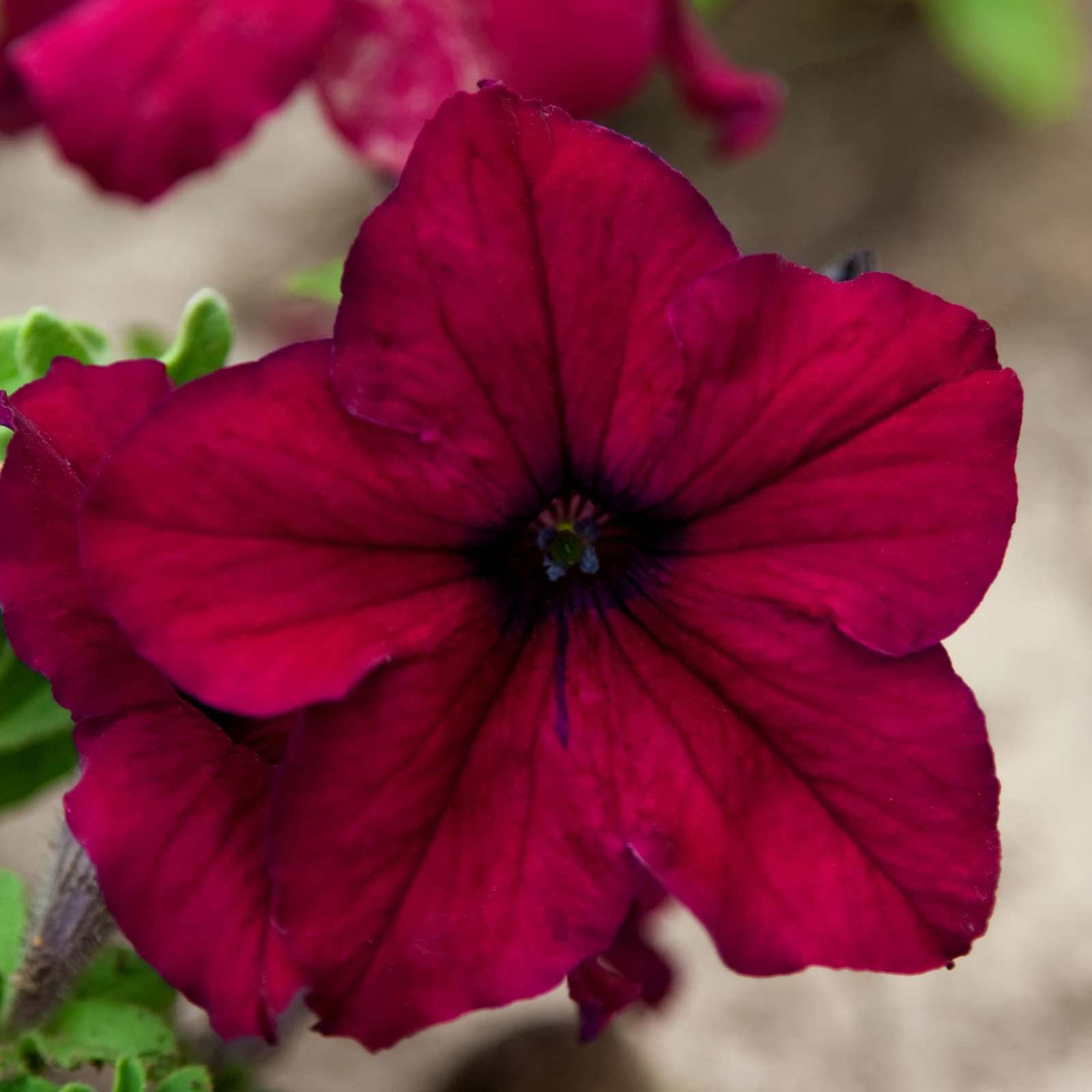 Petunia - Supercascade Series Flower Garden Seed - 1000 Pelleted Seeds - Blush Color Blooms - Annual Flowers - Single Grandiflora Petunias