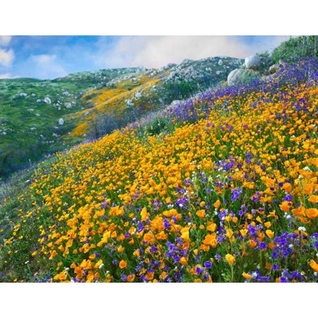California Poppy and Desert Bluebell flowers Canyon Hills Santa Ana Mountains California Poster Print by Tim (Desert Hills California)