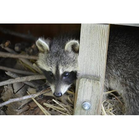 Framed Art for Your Wall Tank Buster Eyes Sweet Furry Raccoon Face 10x13 (Raccoon Framed)