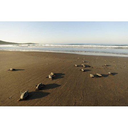 Newly Hatched Loggerhead Turtles (Caretta Caretta) Heading Down Beach to the Sea, Dalyan, Turkey Print Wall Art By Zankl
