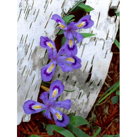 Dwarf Lake Iris Growing Through Birch Bark, Upper Peninsula, Michigan, USA Print Wall Art By Jim
