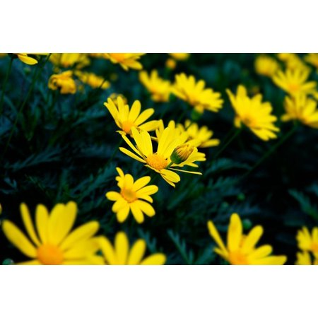 canvas print background chrysanthemum flower stretched canvas 10 x 14 Chrysanthemum Flower Pictures