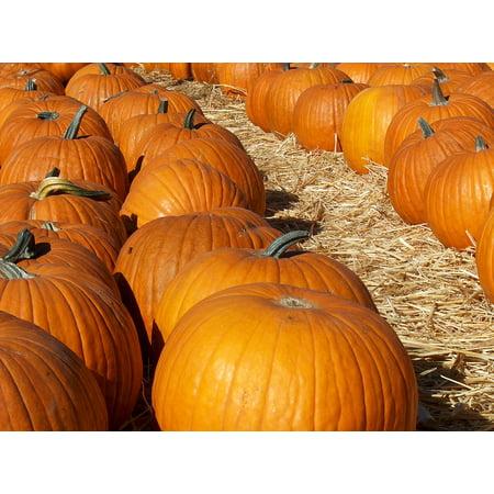 Canvas Print Harvest Orange Pumpkin Patch Pumkins Halloween Stretched Canvas 10 x 14](Halloween Pumkin Carving Ideas)
