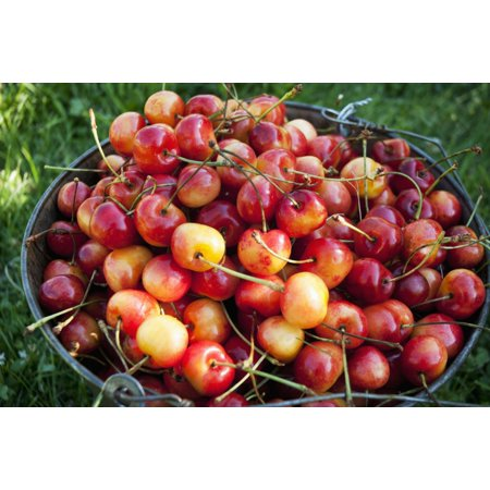 A bucket of ripe Ranier Cherries are freshly picked in the Okanagan British Columbia Canada Poster Print (8 x 10) ()