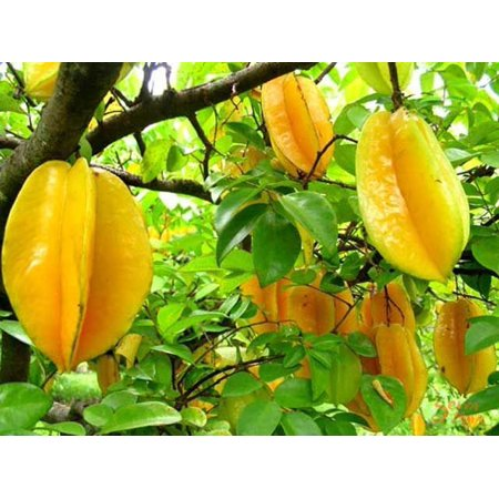 Hawaii Live Plants 3 Gallon Potted Star Fruit Tree
