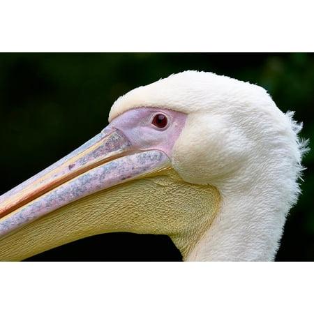 LAMINATED POSTER Close-up Beak Animal Large Nature Daylight Bird Poster Print 24 x (Large Animal Prints)