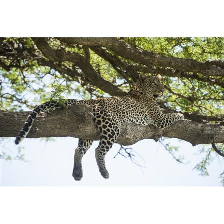 Posterazzi DPI12273597LARGE Leopard Sprawled on Tree Limb Near Ndutu Ngorongoro Crater Conservation Area - Tanzania Poster Print - 38 x 24 in. - Large - image 1 de 1