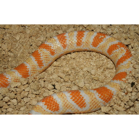 - Canvas Print Hybrid Jungle Corn Reptile Snake Stretched Canvas 10 x 14