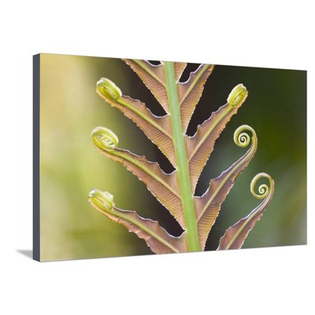 Close-Up of a Giant Fern on a Sunny Morning in Brazil Frond, Fiddlehead Stretched Canvas Print Wall Art By ArtmannWitte ()