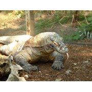 LAMINATED POSTER Lizard Reptile Komodo Dragon Poster Print 24 x 36