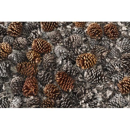 Pinecones on ground from ancient bristlecone pine tree, White Mountains, California. Great Basin Na Print Wall Art By Adam Jones