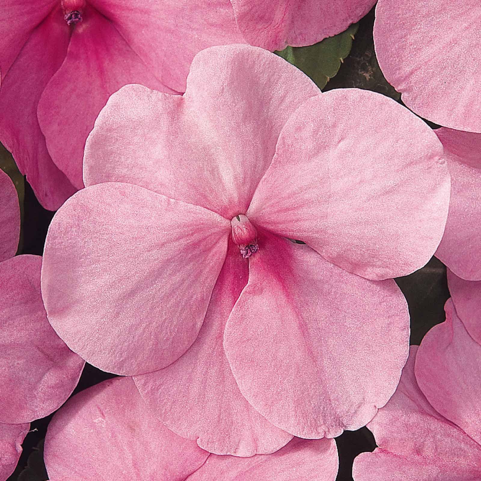 Impatiens Flower Garden Seeds - F1 Dazzler Series - Blue Pearl - 500 Seeds - Annual Flower Gardening Seeds - Impatiens wallerana